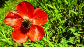 Flor roja grande en el claro Foto de archivo