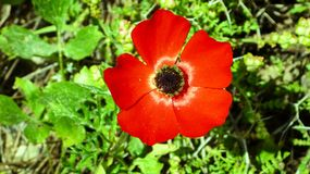 Flor roja grande en el claro fotografía de archivo libre de regalías