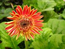 Flor roja - híbrido Floriline del Gerbera Fotos de archivo libres de regalías