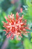Flor roja hermosa de Ixora Fotos de archivo
