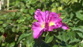 Flor roja hermosa de la cadera color de rosa que balancea en fuerte viento metrajes
