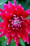 Flor roja hermosa de la dalia ilustración del vector