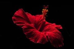 Flor roja hermosa del hibisco Imagen de archivo libre de regalías