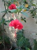 Flor roja hermosa del hibisco Imagenes de archivo