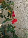 Flor roja hermosa del hibisco Fotos de archivo
