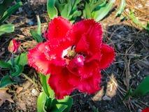 Flor roja hermosa en el día soleado - detalle en la flor fotografía de archivo