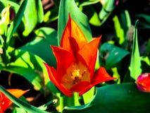 Flor roja hermosa en el d?a soleado - detalle en la flor fotos de archivo libres de regalías