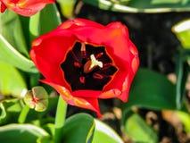 Flor roja hermosa en el d?a soleado - detalle en la flor foto de archivo libre de regalías