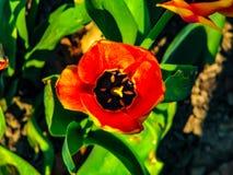 Flor roja hermosa en el d?a soleado - detalle en la flor fotos de archivo