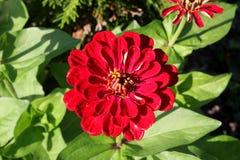 Flor roja hermosa, gotitas en los pétalos Imágenes de archivo libres de regalías