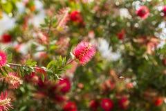 Flor roja mullida y una abeja Foto de archivo libre de regalías