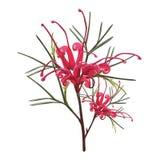 Flor roja nativa australiana de Grevillea libre illustration