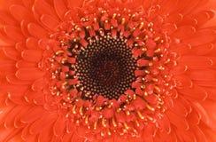 Flor roja perfecta Fotos de archivo libres de regalías