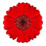 Flor roja perfecta del Gerbera aislada en blanco Fotografía de archivo