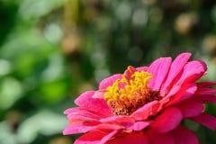 Flor roja preciosa que florece en verano fotos de archivo