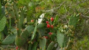 Flor roja rara del cactus Imagen de archivo