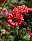 Flor roja rosácea vibrante del aster imagen de archivo