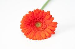Flor roja sola del gerbera aislada en blanco Imágenes de archivo libres de regalías
