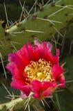 Flor roja suculenta Imagen de archivo libre de regalías