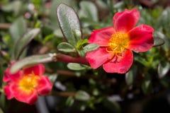 Flor roja tropical Fotografía de archivo libre de regalías