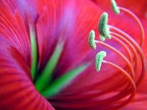 Flor roja tropical Fotos de archivo