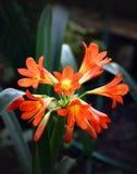 Flor roja tropical Imagen de archivo libre de regalías