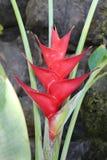 Flor roja tropical del heliconia (pinza de langosta) Fotografía de archivo libre de regalías