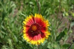 Flor roja y amarilla brillante del gaillardia Foto de archivo libre de regalías