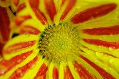 Flor roja y amarilla con las gotitas del rocío Fotos de archivo libres de regalías