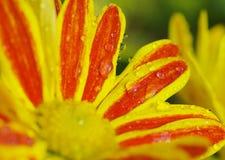 Flor roja y amarilla con las gotitas del rocío Imagenes de archivo