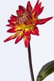 Flor roja y amarilla de la dalia Fotografía de archivo
