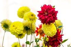 Flor roja y amarilla de la dalia Foto de archivo