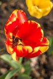 Flor roja y amarilla del tulipán Fotos de archivo libres de regalías