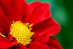 Flor roja y amarilla en el verde Foto de archivo