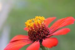 Flor roja y amarilla hermosa con el fondo bluried Fotos de archivo libres de regalías