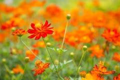 Flor roja y anaranjada del cosmos en fondo verde de la naturaleza Flor Imagen de archivo libre de regalías
