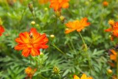 Flor roja y anaranjada del cosmos en fondo verde de la naturaleza Flor Fotografía de archivo