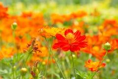 Flor roja y anaranjada del cosmos en fondo verde de la naturaleza Flor Imagenes de archivo