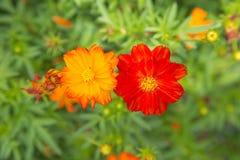 Flor roja y anaranjada del cosmos en fondo verde de la naturaleza Flor Fotos de archivo libres de regalías