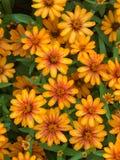 Flor roja y anaranjada del cosmos en fondo verde de la naturaleza Flor Fotos de archivo