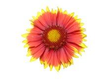 Flor roja y anaranjada solitaria del aristata del gaillardia aislada en blanco Imágenes de archivo libres de regalías