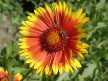 Flor roja y anaranjada solitaria del gaillardia con la abeja Imagen de archivo