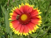 Flor roja y anaranjada solitaria del gaillardia con la abeja Fotos de archivo libres de regalías