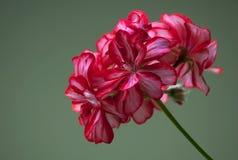 Flor roja y blanca Imagenes de archivo