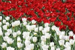 Flor roja y blanca de Tulipe Imagenes de archivo