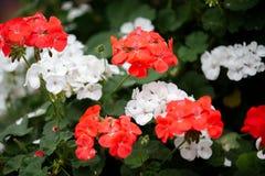 Flor roja y blanca en un jardín fotografía de archivo libre de regalías