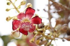 Flor roja y carpelo amarillo. Fotos de archivo libres de regalías