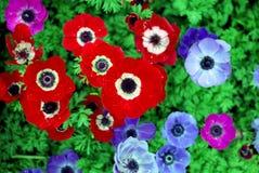flor roja y flor azul foto de archivo