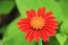 Flor roja y hoja verde Imagen de archivo