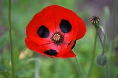 Flor roja y negra Foto de archivo libre de regalías